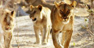 Afrika'nın Ölümcül Avcıları Nat Geo Wild'da