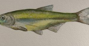 On beş balık türü dünyada yalnızca Konya Havzası'nda yaşıyor