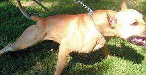 Evde çocuklara saldıran 9 köpek cinsi var